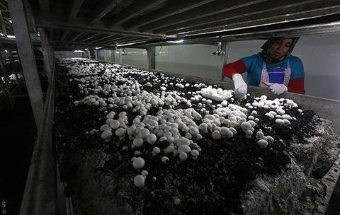Dalle pecore agli struzzi: le imprese agricole palestinesi si reinventano